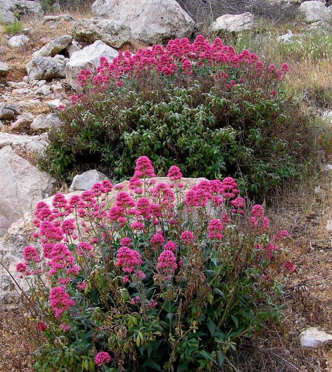 Кентрансус длинноцветковый Centranthus longiflorus фото