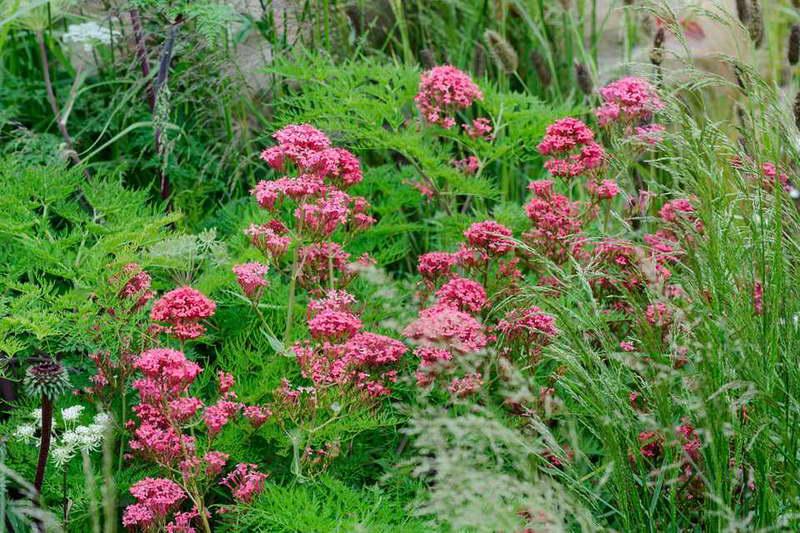Кентрантус красный Centranthus ruber фото