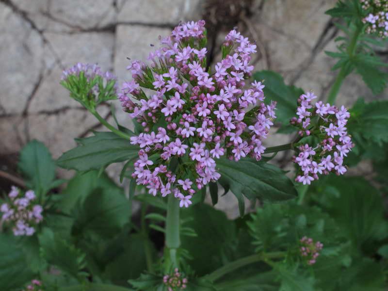 Кентрантус валерьяновидный Centranthus calcitrapa фото