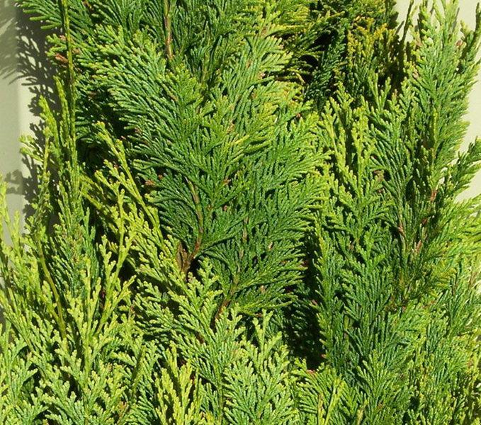 Кипарисовик Лавсона Алюмиголд Chamaecyparis lawsoniana Alumigold фото