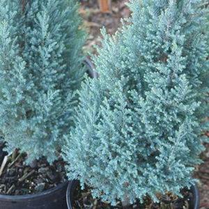 Кипарисовик Лоусона Chamaecyparis lawsoniana 'Blue Surprise' фото