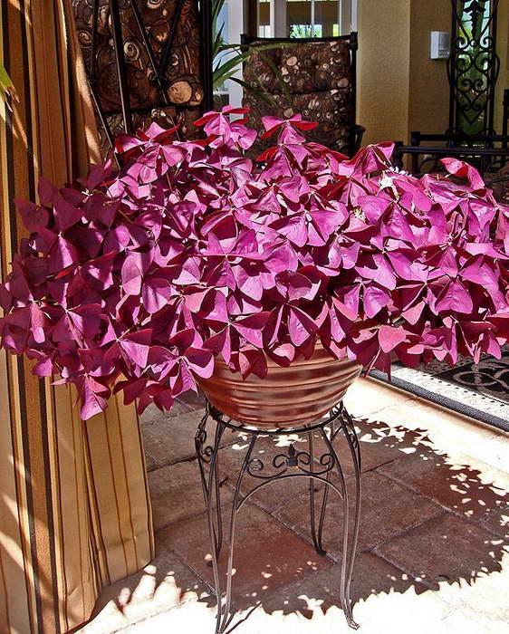 Кислица фиолетовая уход в домашних условиях фото