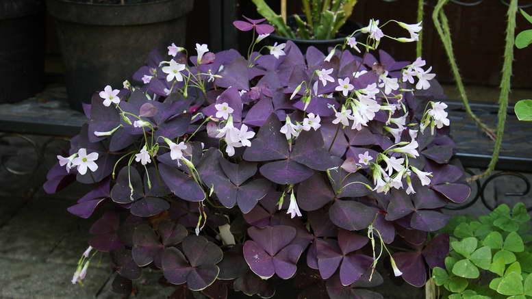 Кислица комнатная фиолетовая уход в домашних условиях фото цветов