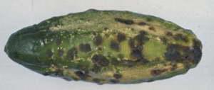 Кладоспориоз на плодах огурцов фото болезней огурцов