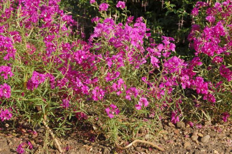 Кларкия хорошенькая Clarkia pulchella фото