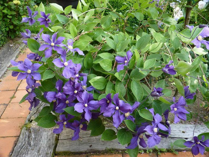 Клематис крупноцветковый фиолетовый Clematis integrifolia 'Durandii' фото