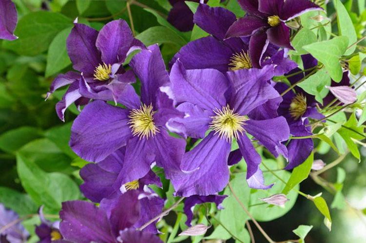 Клематис сорт Виола Clematis 'Viola' фото