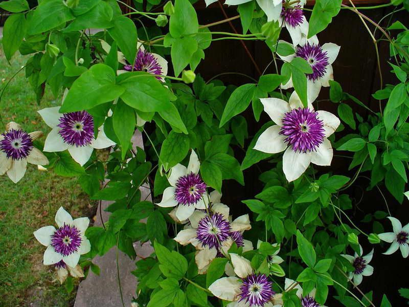 Клематис цветистый или Флорида Clematis florida сорт Sieboldii фото