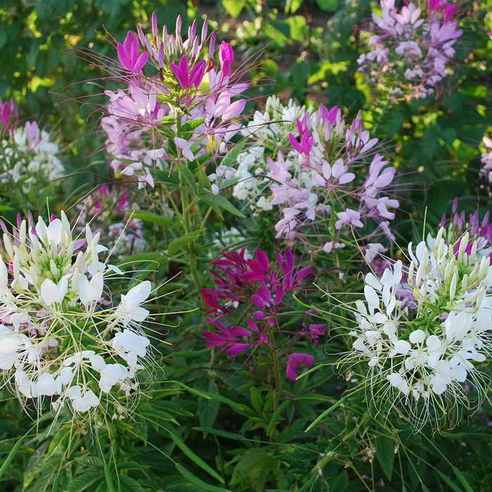 Клеома фото цветов рассада когда сажать в грунт