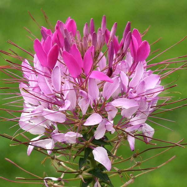 Клеома хасслера Розовая королева фото