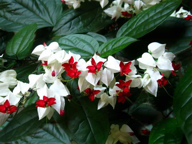 Клеродендрум Томпсона Clerodendrum thomsonae фото