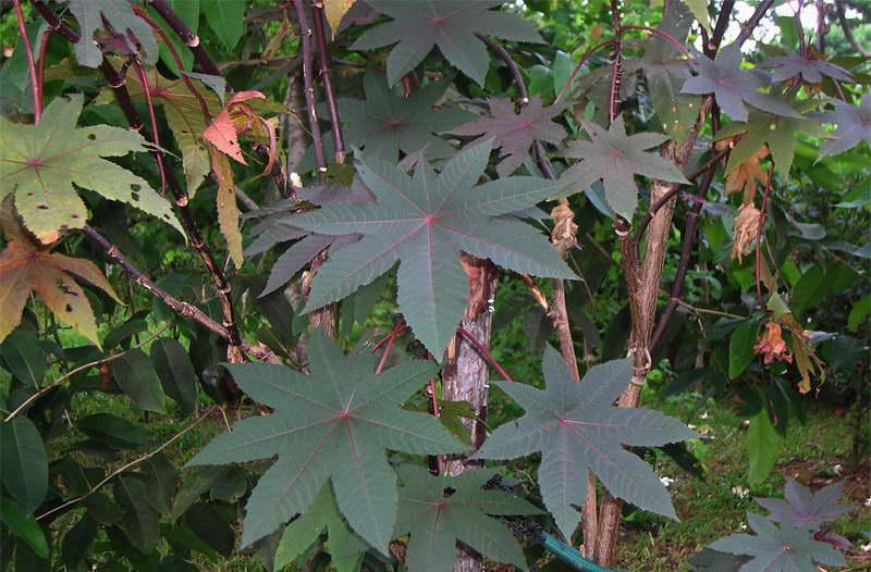 Клещевина бурбонская Ricinus borboniensis фото