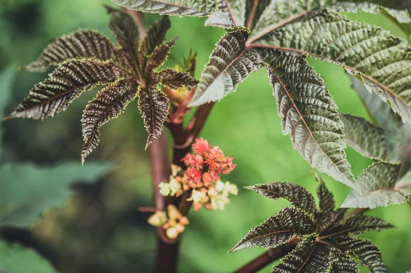 Клещевина камбоджийская или индийская Ricinus cambodgensis фото