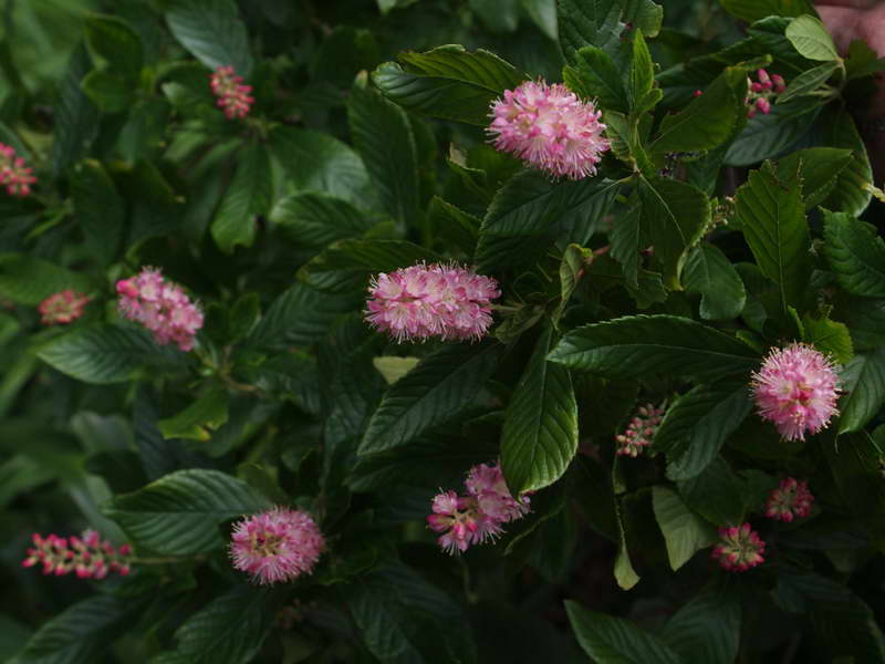 Клетра ольхолистная руби спайс Clethra alnifolia Ruby Spice фото