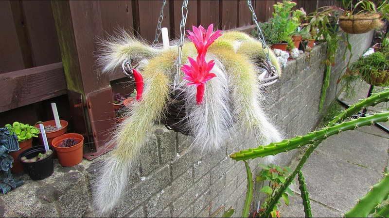 Клейстокактус Хвост обезьяны в подвесном кашпо фото