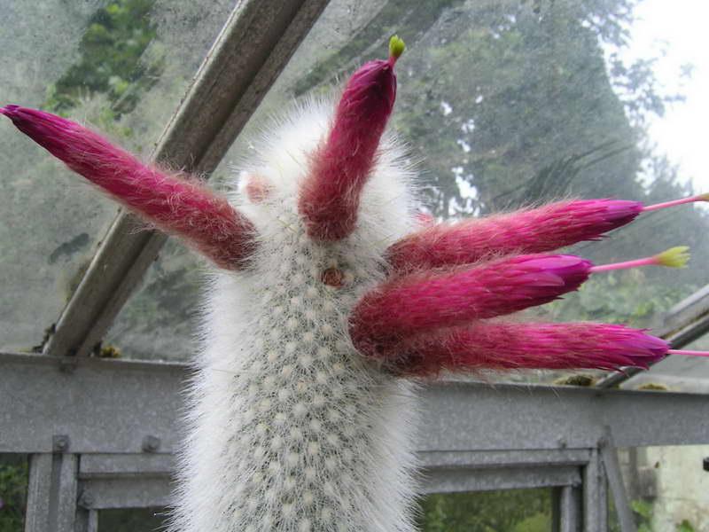 Клейстокактус Штрауса Cleistocactus strausii фото