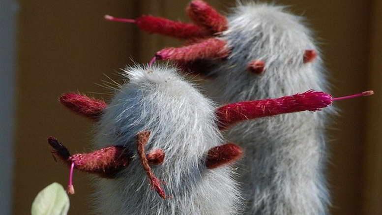 Клейстокактус Штрауса Сильвер Вули Торч Cleistocactus Strausii Silver Wooly Torch фото
