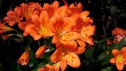 Кливия уход и выращивание в домашних условиях фото цветов