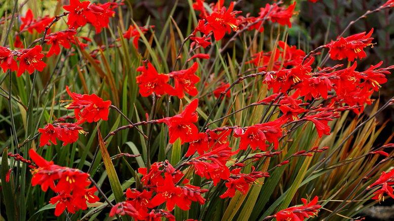Клубнелуковичные растения для дома и сада с фото и названиями