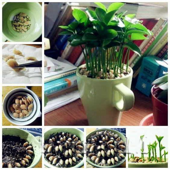 Клузия из семян выращивание