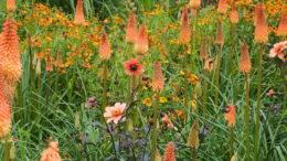 Книфофия посадка и уход в Подмосковье и средней полосе фото цветов