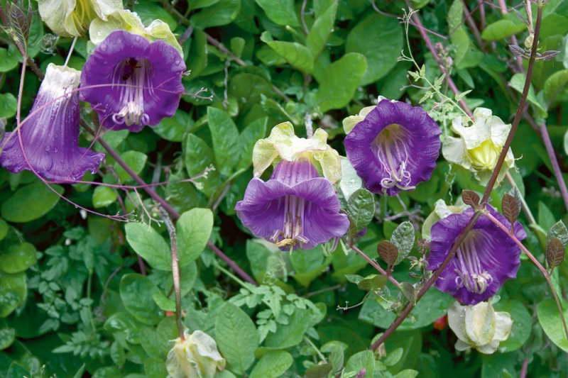 Кобея фиолетовая фото цветов в саду