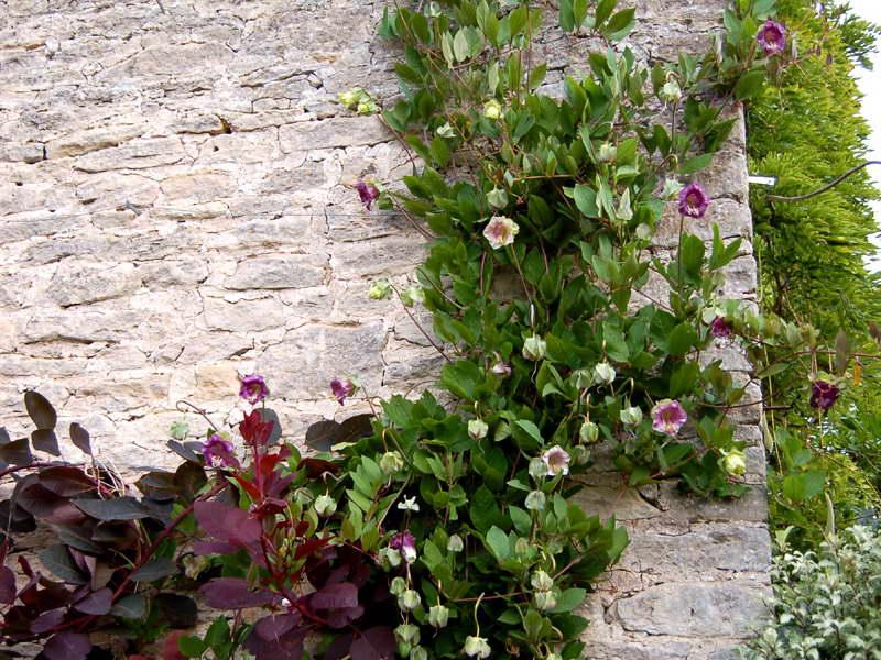 Кобея фото цветов в саду