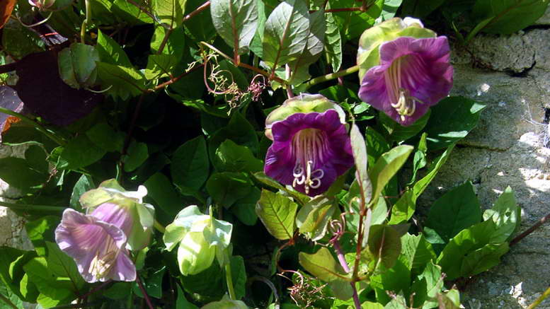 Кобея посадка и уход в открытом грунте Фото цветов