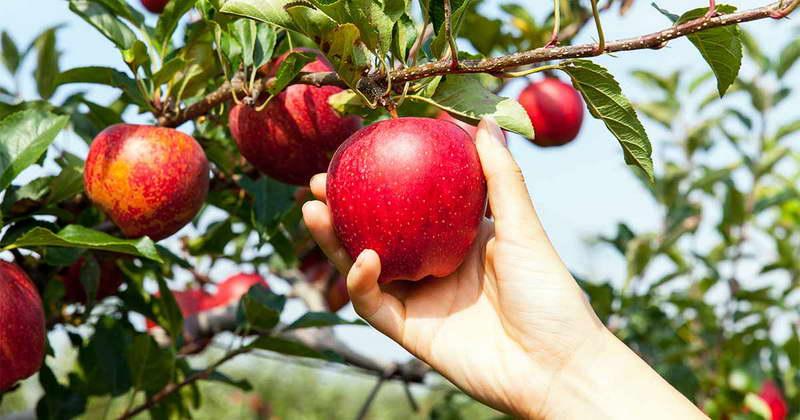 Когда нужно подкармливать яблони сроки