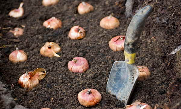 Когда сажать гладиолусы в открытый грунт весной Посадка и уход фото