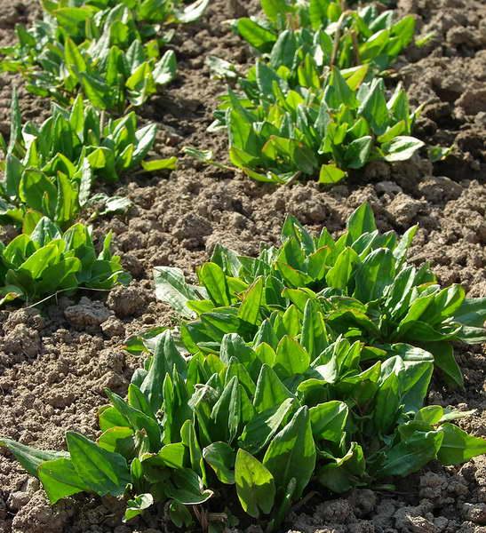 Когда сажать щавель весной и под зиму сроки посева