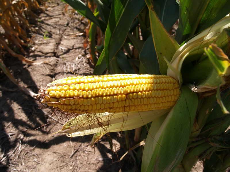 Когда собирать урожай кукурузы фото