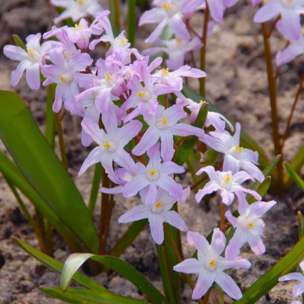 Когда цветут хионодоксы на фото сорт Chionodoxa Pink Giant