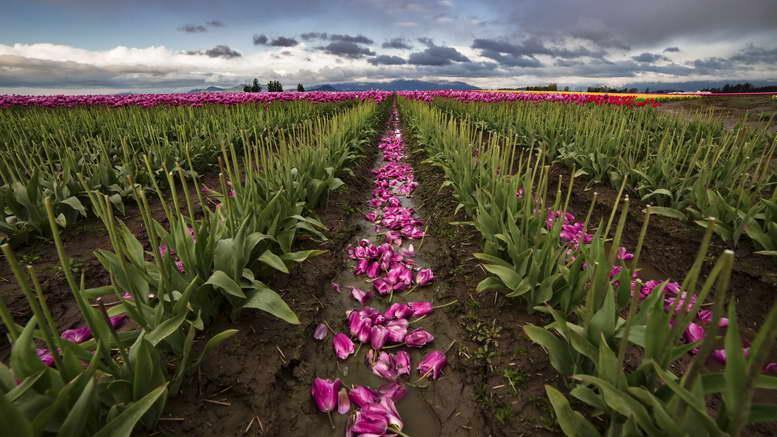 Когда выкапывать и сажать тюльпаны после цветения как хранить луковицы