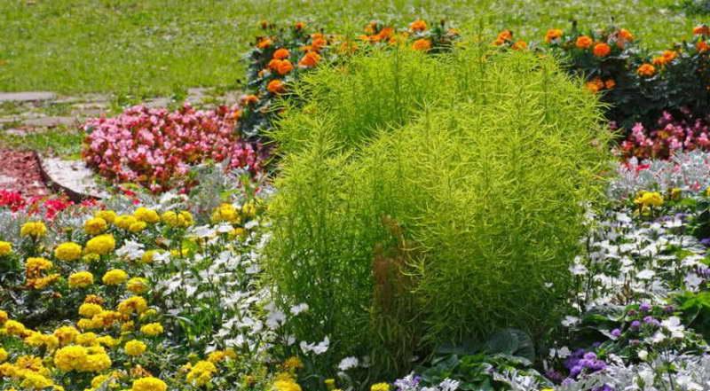 Кохия в ландшафтном дизайне фото цветов