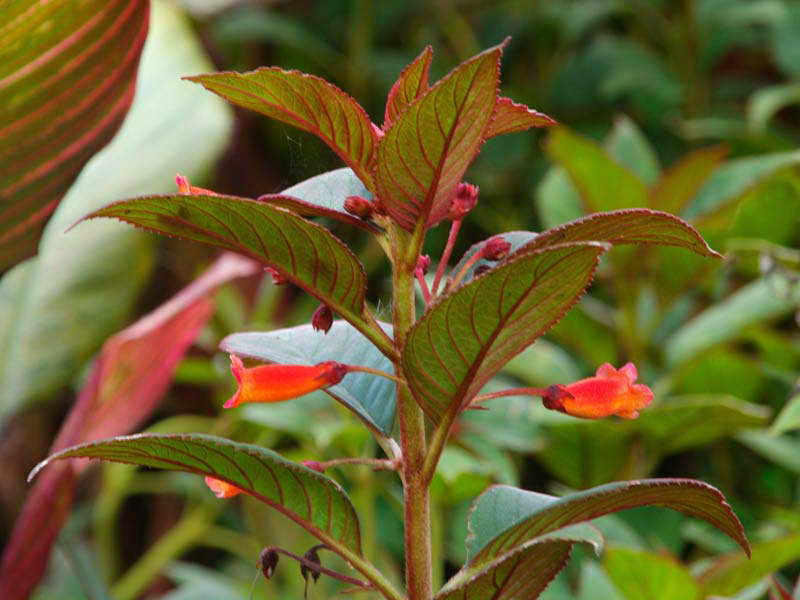 Колерия пушистоцветковая Kohleria eriantha фото