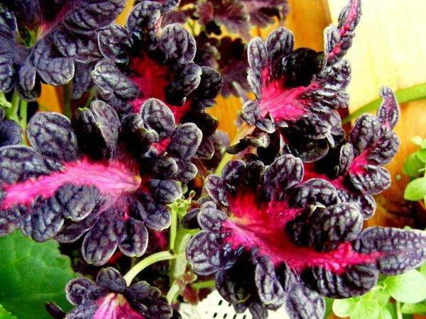 Колеус блюме Черный дракон Dragon Black фото