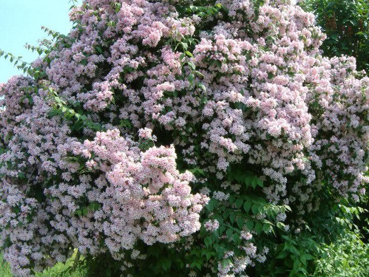 Кольквиция прелестная Розея kolkwitzia amabilis rosea фото в саду
