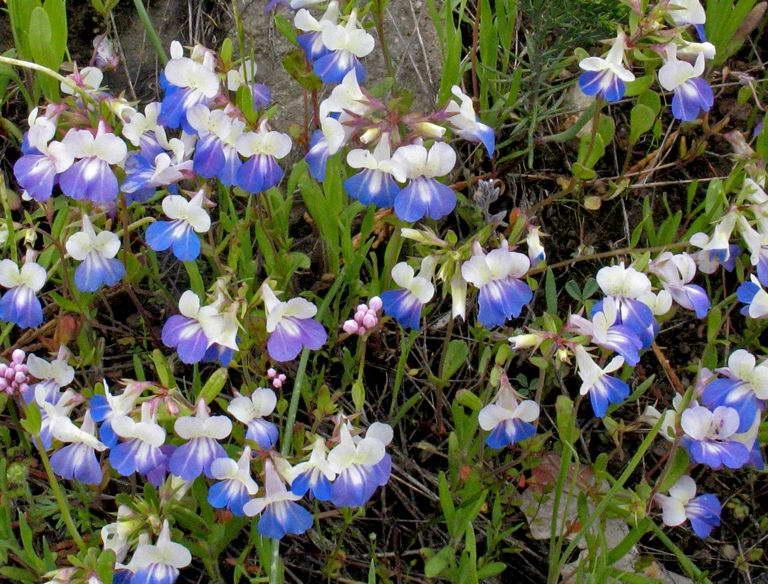 Коллинсия крупноцветковая Collinsia grandiflora фото
