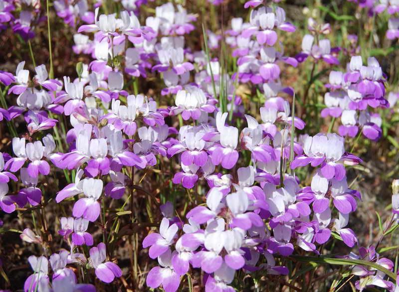 Коллинсия разнолистная чинайзхаузес Collinsia heterophylla Purple Chinese houses фото