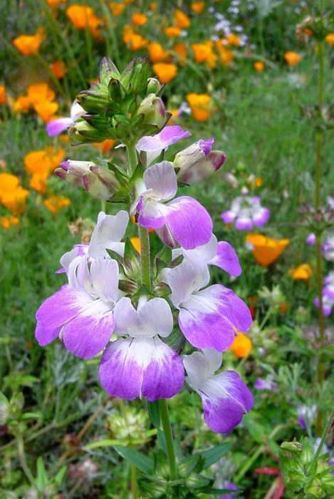 Коллинсия с другими цветами фото с эшшольцией