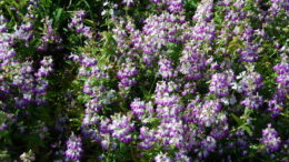 Коллинсия выращивание из семян фото цветов