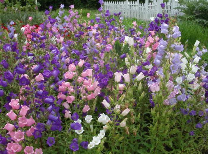 Колокольчик средний Campanula medium фото и выращивание в саду