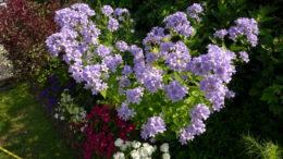 Колокольчик цветок фото Посадка и уход в открытом грунте Размножение
