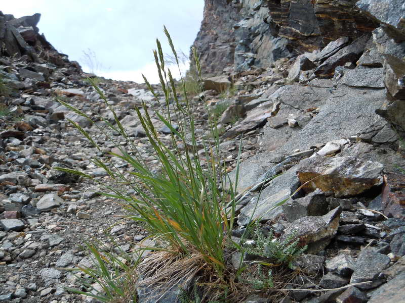 Колосняк шероховатостебельный или Пырей бескорневищный Elymus trachycaulus фото