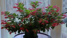 Колумнея уход в домашних условиях размножение и выращивание