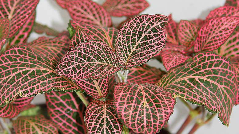 Комнатная фиттония как ухаживать на фото сорт Fittonia verschaffeltii красная