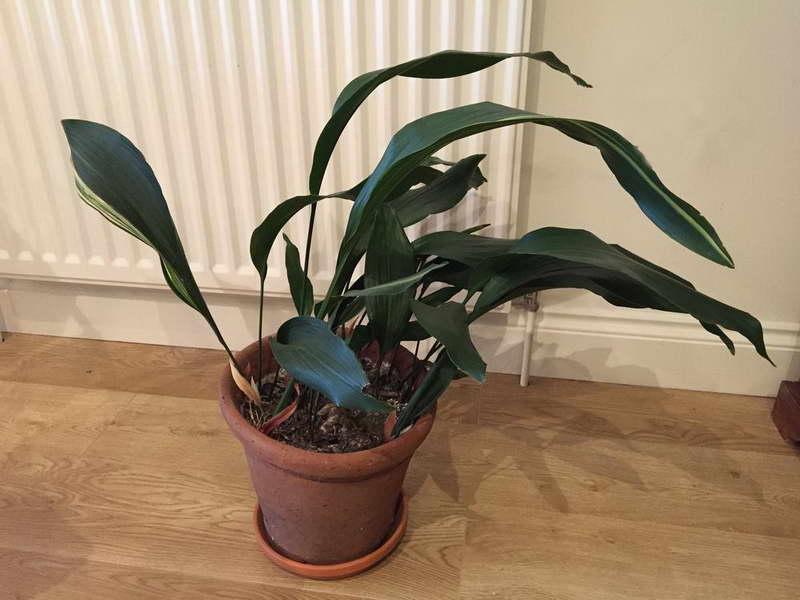 Комнатное растение аспидистра фото