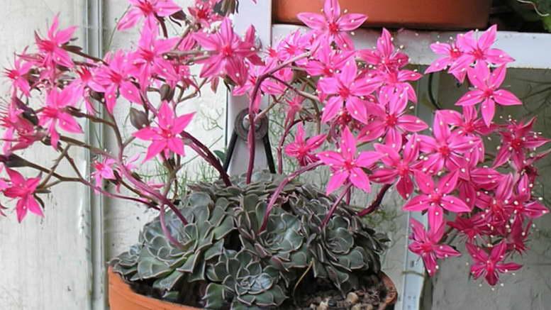 Комнатное растение граптопеталум беллум или красивый фото