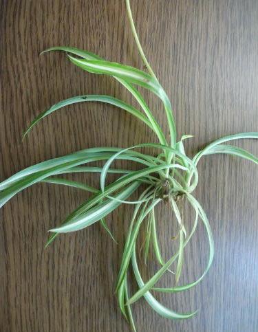 Комнатное растение хлорофитум размножение розетками фото